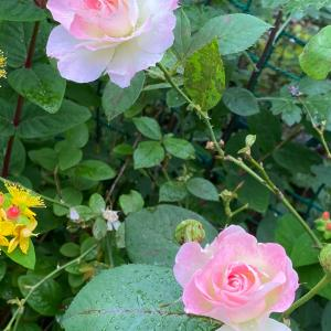 薔薇の花  しらたまくんコッソリポリポリ