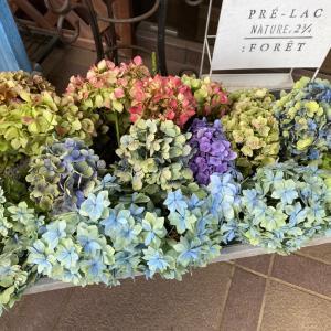 紫陽花を並べて  プッチーニ南瓜収穫と料理
