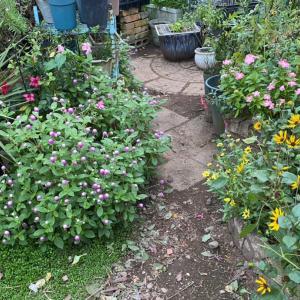 庭の花で  ランタナ大きくなって来た