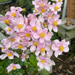 マリーゴールドのハーレクイン 秋明菊 おにぎりしらたま
