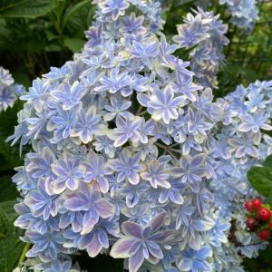 セリアのがま口型から 紫陽花とポテサラ