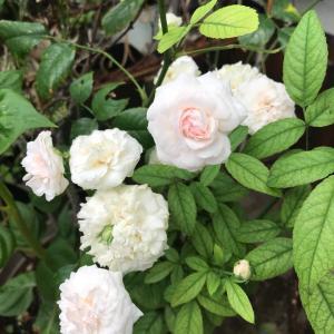 バラに秋桜   パパイヤだね〜〜葉牡丹のその後