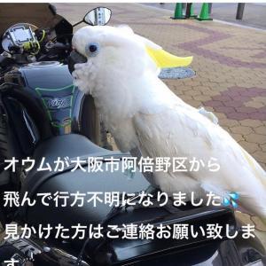 拡散希望 大阪市でキバタン迷子