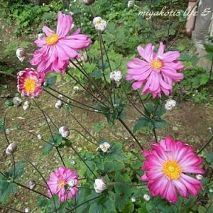 秋明菊の咲くお寺と野の花