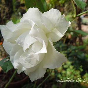 バラと十月桜♪