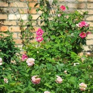 ローズガーデンの秋バラ