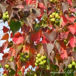 チューリップの植え込みとオリーブの木