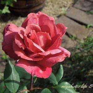 薔薇とケント君