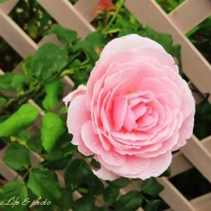 雨に咲く7月のバラ