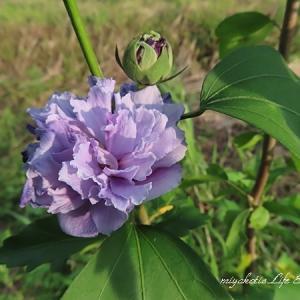 紫玉(ムクゲ)/クレオメ/ガウラ