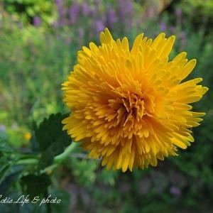 真夏の花壇から・・ルリマツリバーバスカムetc