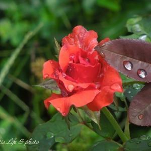 雫のバルバラ☆綺麗なシソの葉