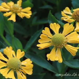 夏から秋へのつなぎは黄色と白の花