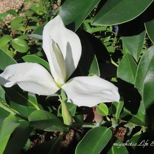 ミヤマガンショウとバラの咲く風景