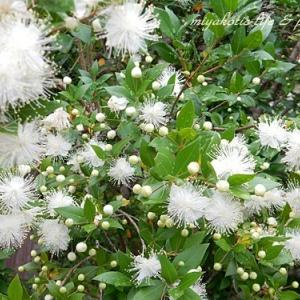 ギンバイカ(銀梅花)☆ワンコイン寄せ植え