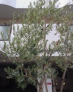 オリーブの木とヤマボウシの実