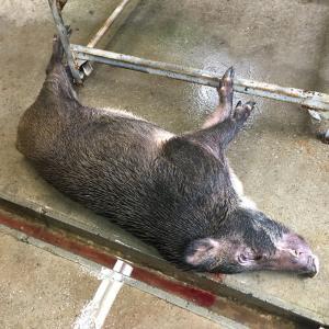 でかい猪捕獲