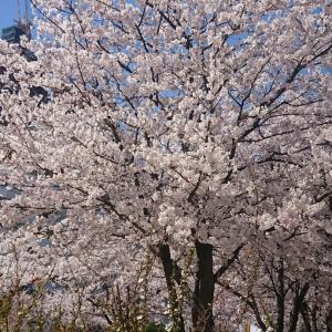 韓国ひとり旅 ヨイドの桜と映画「誕生日」