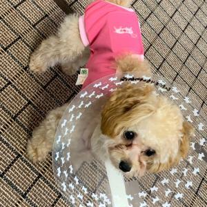 ティーカッププードルの女の子の避妊手術〜!!