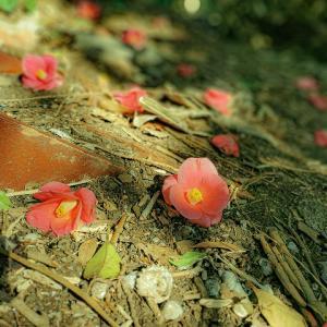 落椿が綺麗な季節になった