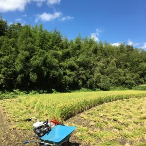ただ今    もち米稲刈りです!