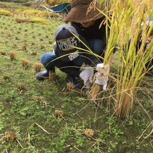 稲刈り&ハサ干し体験