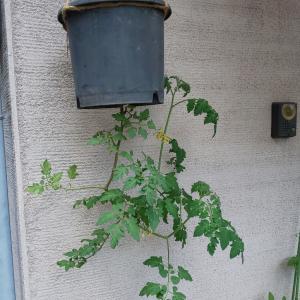 ミニトマトの『逆さ栽培』☆