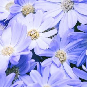 人々からこれほど開花が待たれ、愛でられる花も珍しい。「古くは『花』といえば桜」(『広辞苑』)