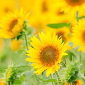 鉢植えで育てていた「ど根性ヒマワリ」が今年も咲いた。ベランダが明るくなり、梅雨のうっとうしい気分