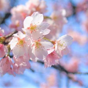 早咲きの桜の季節が終わった沖縄で、4月頃から開花する桜がある。ヒカンザクラとアマギヨシノを人工交