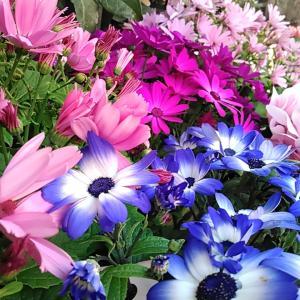 茨城の友から、青い花園の写真が届いた。直径3センチほどの花を咲かせた「ネモフィラ」が群生している