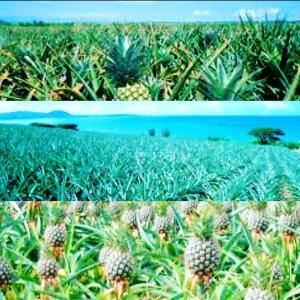 パイナップルは土から芽をだす*木にはならない