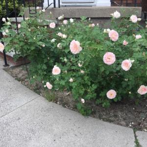 雪に埋もれていた薔薇が綺麗に咲いてくれました。