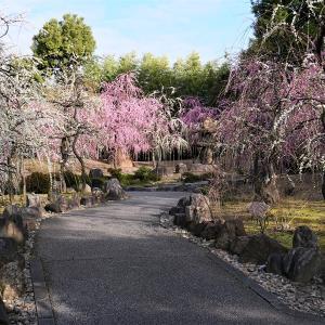 梅 / 京都・城南宮2