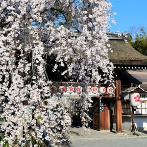 枝垂れ桜 / 京都・平野神社