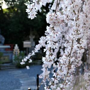 阿亀桜 / 京都・千本釈迦堂