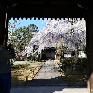 枝垂れ桜 / 京都・上品蓮台寺