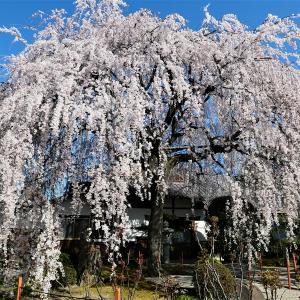 枝垂れ桜 / 京都・本満寺