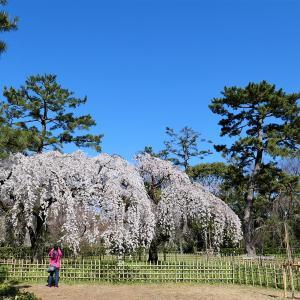 枝垂れ桜 / 京都御苑