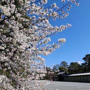 桜 / 京都御苑