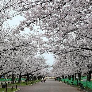 桜 / 大阪・万博公園