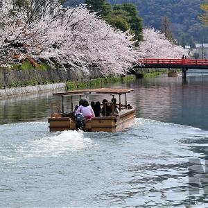 桜 / 京都・岡崎疏水