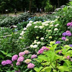 紫陽花 / 大阪・万博公園