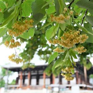 菩提樹 / 京都・金戒光明寺