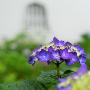 紫陽花 / 京都・真如堂