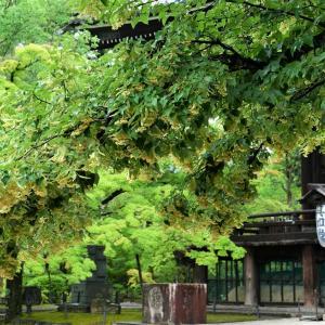 菩提樹 / 京都・真如堂