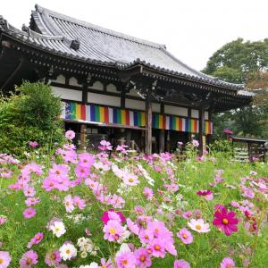 コスモス / 奈良・般若寺
