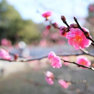 梅 / 京都御苑