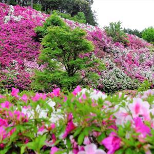つつじ / 京都・三室戸寺
