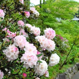 石楠花 / 京都・三室戸寺